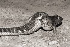 Q6. The photograph shows a snake eating a toad. Cane toads were first introduced into Australia in 935. The toads contain toxins and most species of Australian snake die after eating the toad.