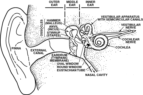 The Mammalian Ear 1 Subdivided into outer, middle, and inner ear.