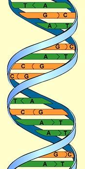 C Compound #3: Nucleic Acids Store and transmit hereditary, or genetic information. A macromolecule.