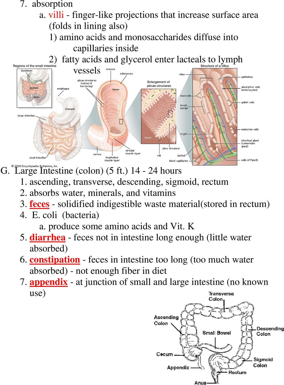 lacteals to lymph vessels G. Large Intestine (colon) (5 ft.) 14-24 hours 1. ascending, transverse, descending, sigmoid, rectum 2. absorbs water, minerals, and vitamins 3.