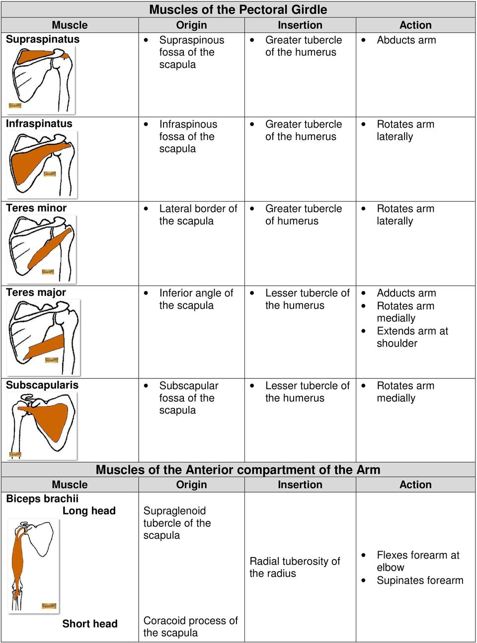 Adducts arm Extends arm at shoulder Subris Subr fossa of the Lesser tubercle of the Muscles of the Anterior compartment of the Arm Biceps