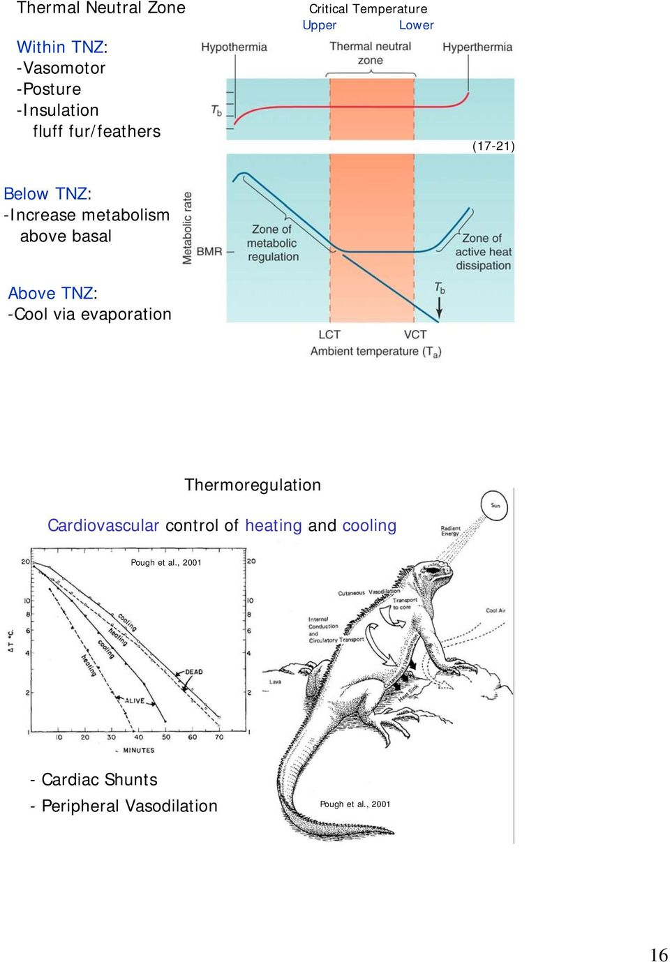 Above TNZ: -Cool via evaporation 31 Thermoregulation Cardiovascular control of heating