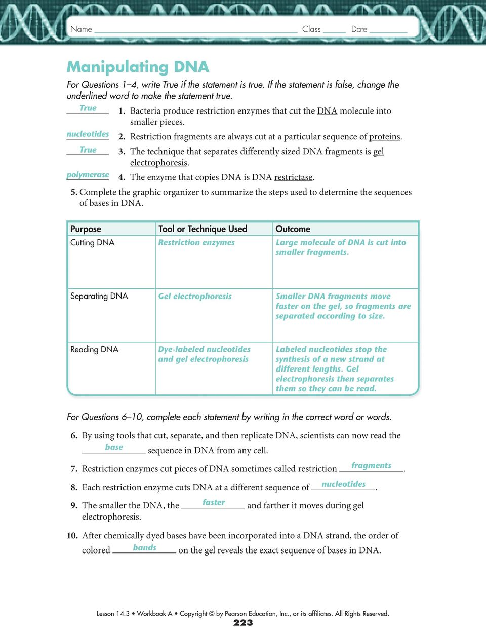worksheet Restriction Enzyme Worksheet 14 3 studying the human genome pdf technique that separates differently sized dna fragments is gel electrophoresis polymerase 4 the