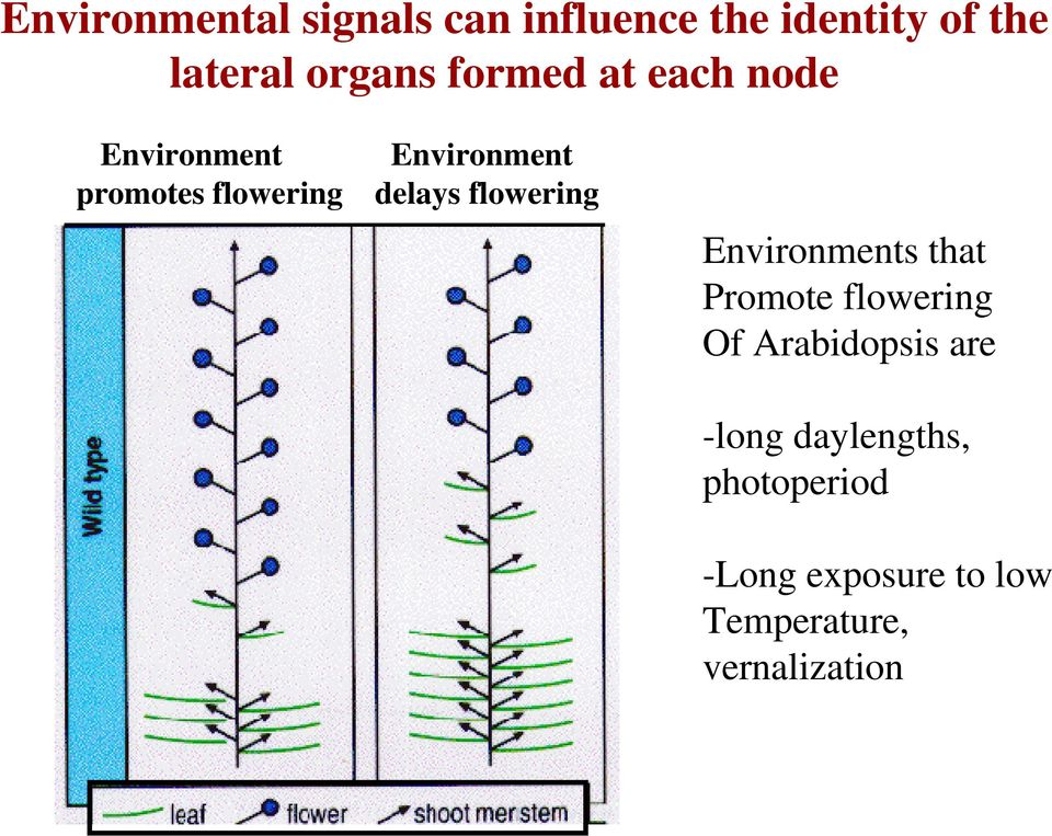 flowering Environments that Promote flowering Of Arabidopsis are -long
