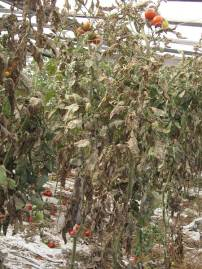 plant, damage to fruits Yield loss,