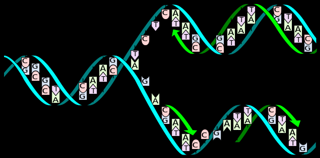 2.7.U1 The replication of DNA is semi-conservative and depends on complementary base pairing. 3.
