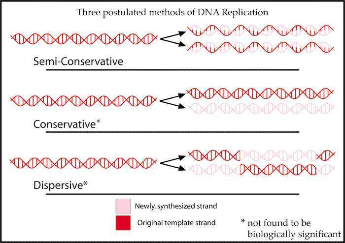 2.7.S2 Analysis of Meselson and Stahl s results to obtain support for the theory of semiconservative replication of DNA.