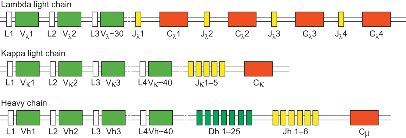 Immunoglobulin gene arrangements The heavy chain locus ~80 Variable (V H ) genes, 27 Diversity (D H ) genes, 6 Joining (J H ) genes for producing