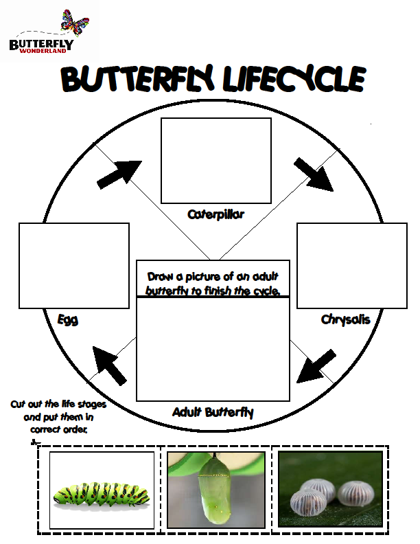 THE LIFECYCLE OF THE BUTTERFLY Egg: Butterfly eggs are laid on plants called Host Plants. They are super small and placed on a leaf by female butterfly.