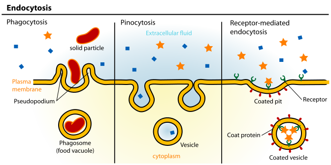 Active Transport cell drinking cell eating Highly specific! Large molecules and even solid clumps of material may undergo active transport by means of the cell membrane.