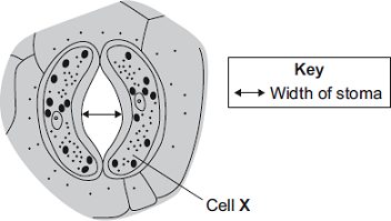 Q9. Plant leaves have many stomata. The diagram shows a stoma. (a) (b) Name cell X... The table shows the mean widths of the stomata at different times of the day for two different species of plant.