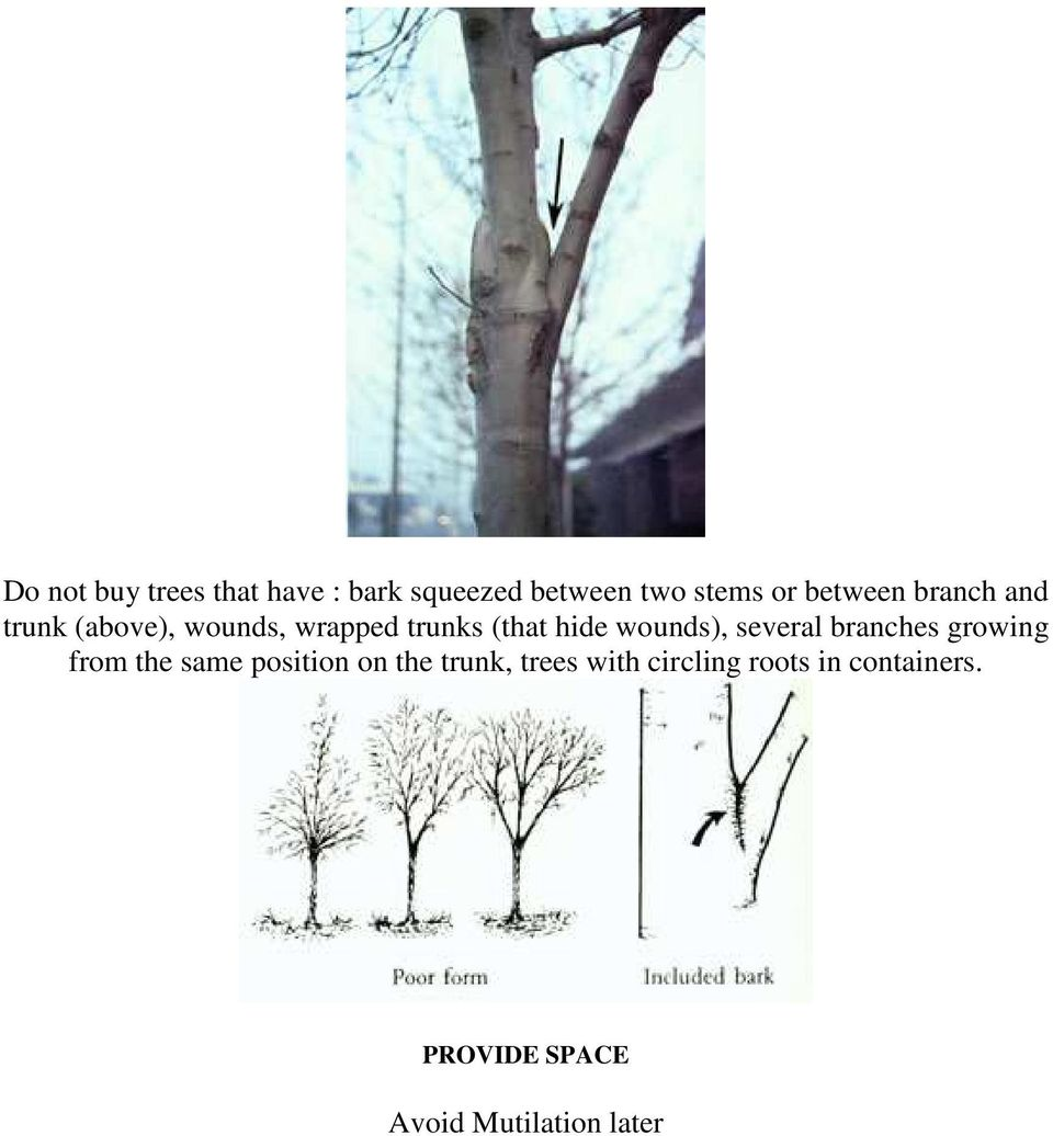 wounds), several branches growing from the same position on the