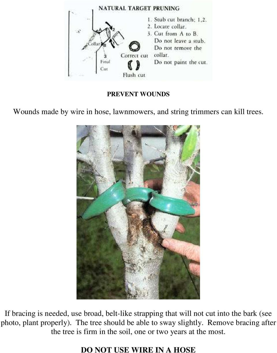 If bracing is needed, use broad, belt-like strapping that will not cut into the bark