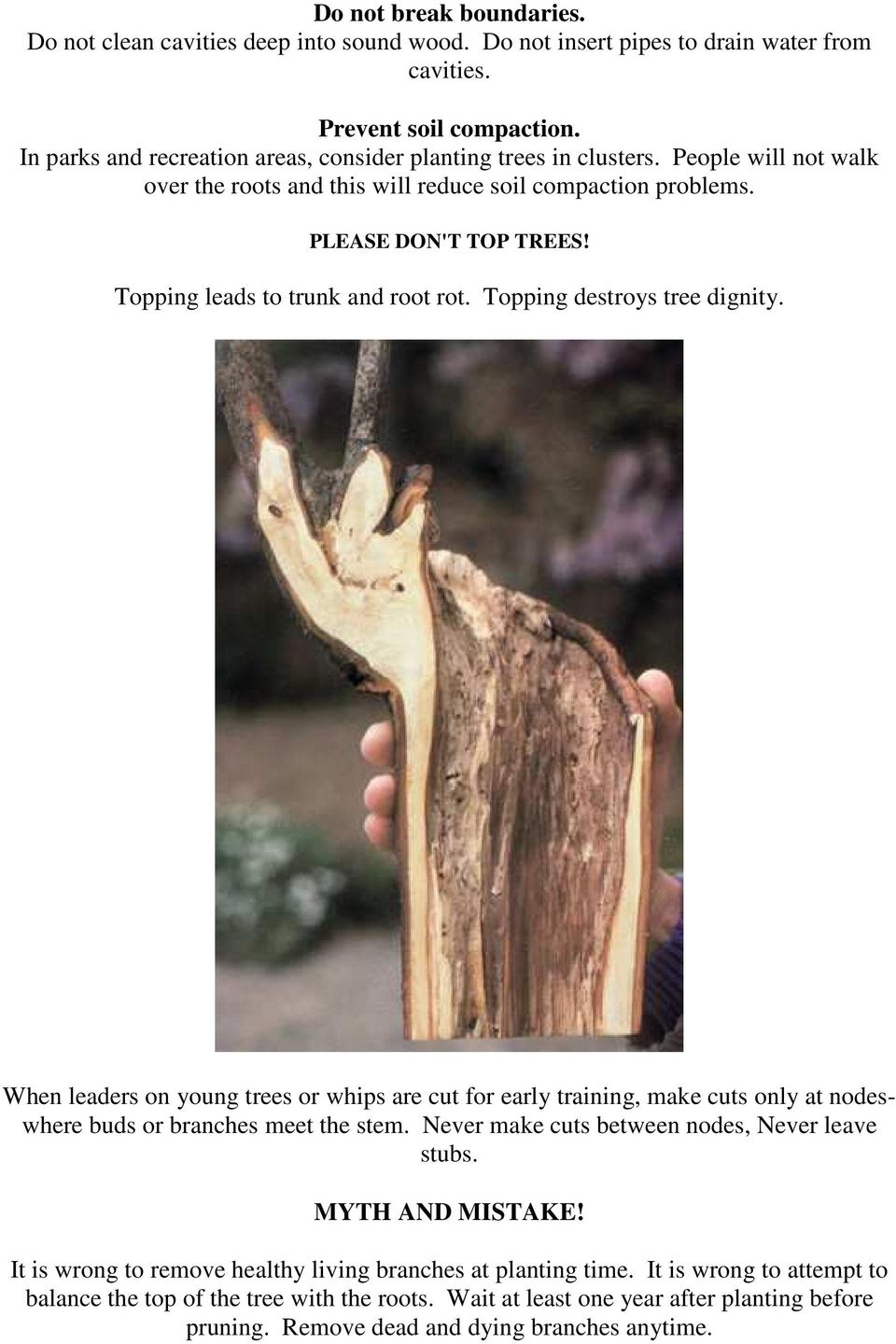 Topping leads to trunk and root rot. Topping destroys tree dignity. When leaders on young trees or whips are cut for early training, make cuts only at nodeswhere buds or branches meet the stem.