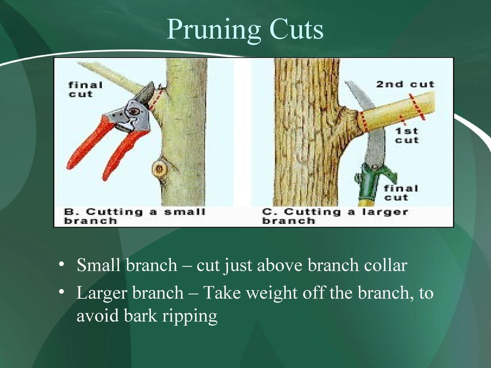 Larger branch Take weight off