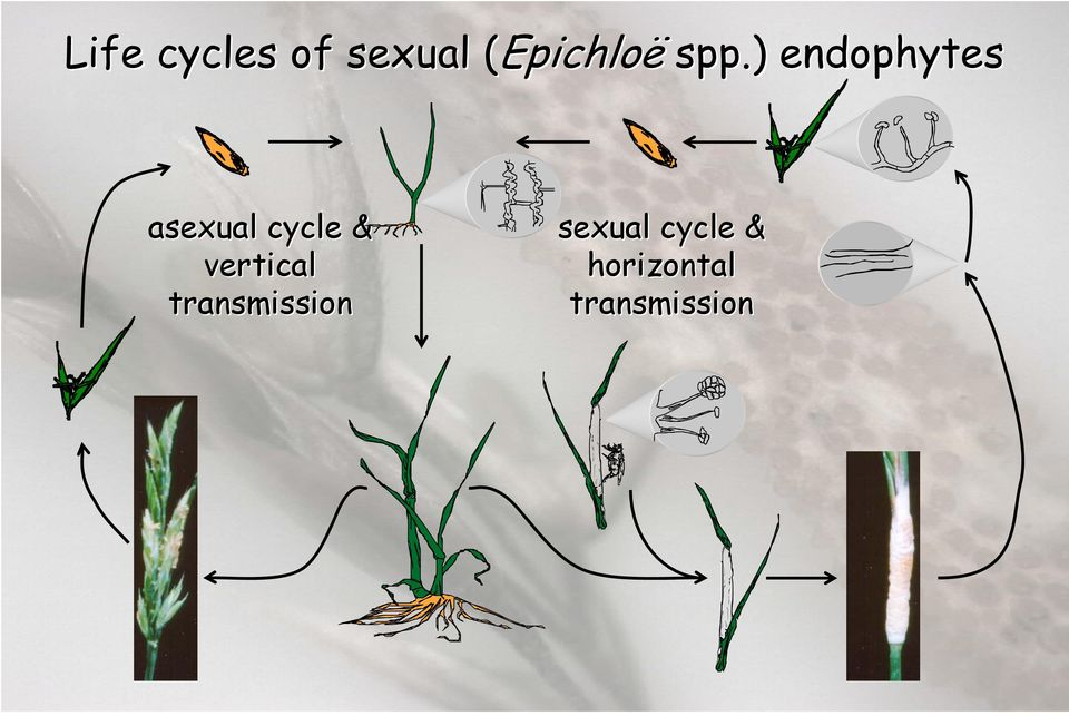 ) endophytes asexual cycle &