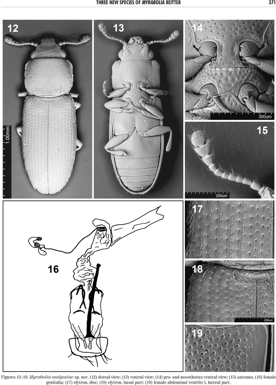 (12) dorsal view; (13) ventral view; (14) pro- and mesothorax ventral