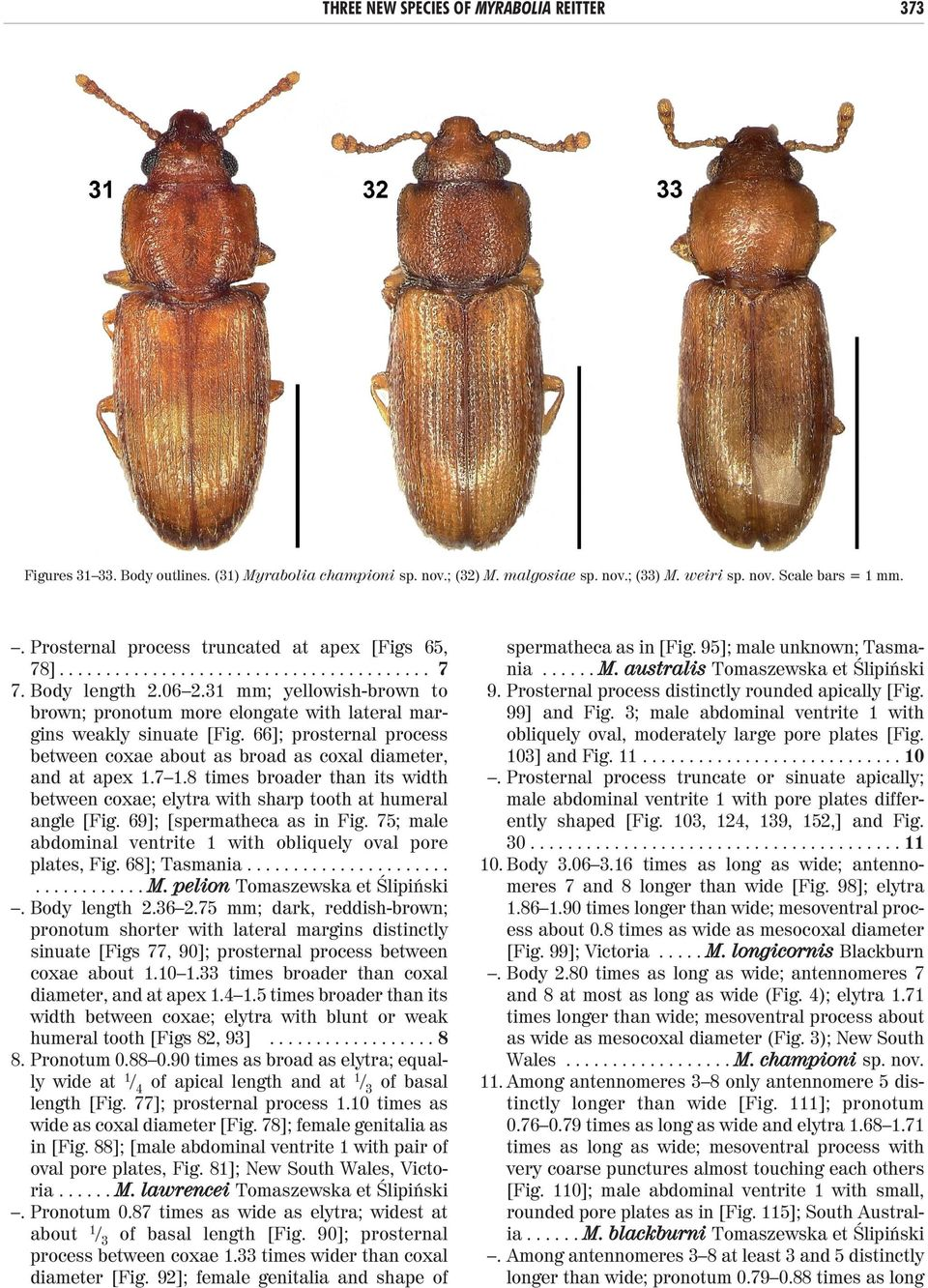 31 mm; yellowish-brown to brown; pronotum more elongate with lateral margins weakly sinuate [Fig. 66]; prosternal process between coxae about as broad as coxal diameter, and at apex 1.7 1.