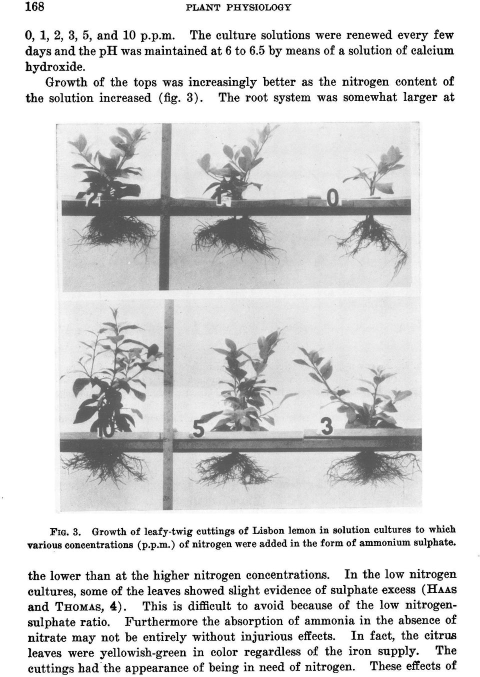 . The root system was somewhat larger at : v4. FIG. 3. Growth of leafy-twig cuttings of Lisbon lemon in solution cultures to which various concentrations (p.p.m.) of nitrogen were added in the form of ammonium sulphate.