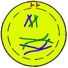 Meiosis I Prophase I: a. The replicated pair of chromatids will line up with a pair of similar chromatids called its homologous pair.