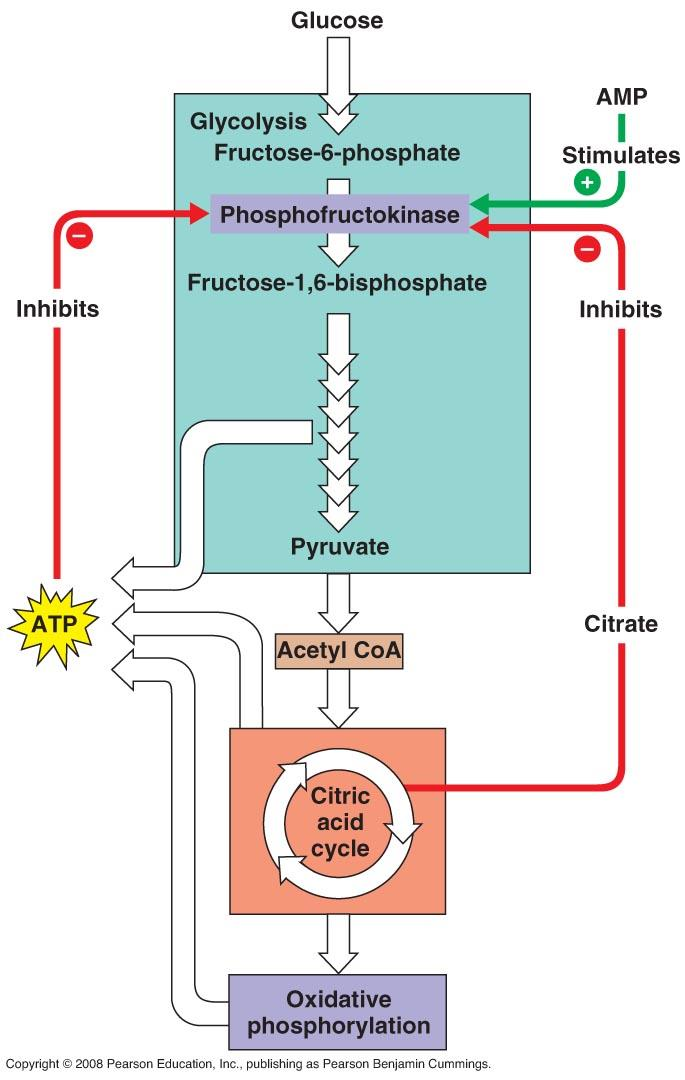 AMP Stimulates ATP and