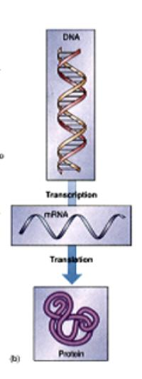 How Does Protein Synthesis/ Gene Expression Occur?