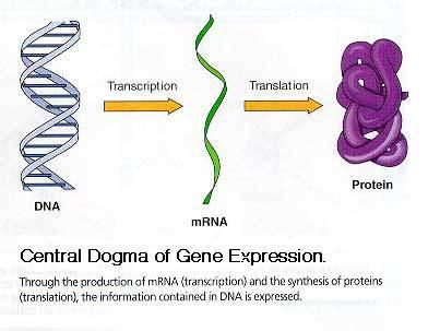 trna molecules bind to the mrna-ribosome complex according to the information on contained in the codons in the mrna