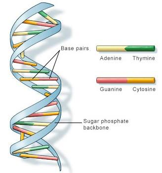 1 _ : DNA 2 _ : RNA Amino Acids 3 { DNA DOUBLE HELIX PROTEIN SYNTHESIS (READING DNA) 4. Protein Synthesis: This is how genes control your body: a. A codon is a sequence of _3 bases in DNA.