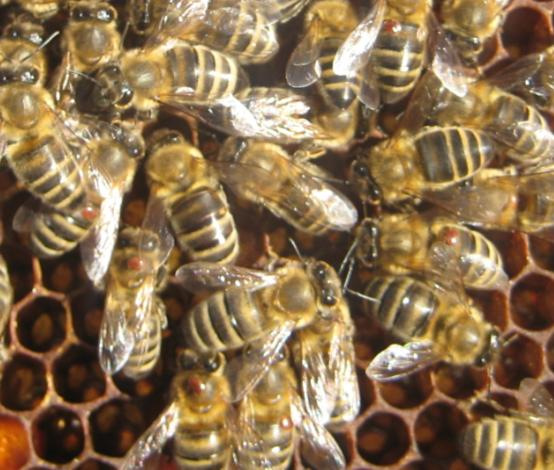 Disease monitoring & control Application of the common principles of biosafety and Good Beekeeping Practices is a general recommendation for the control of honey bee diseases.