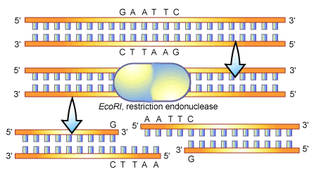 THE RESTRICTION ENDONUCLEASES EcoRI cuts the