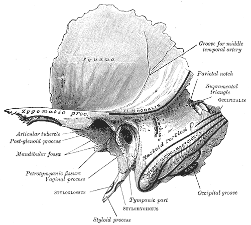 iv) Temporal (2): mastoid process external auditory meatus (ear canal) temperomandibular joint (TMJ) styloid