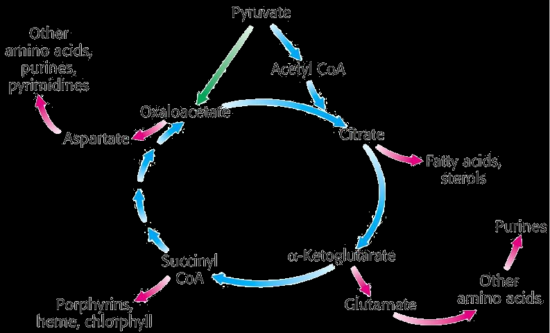 2 Citric acid cycle Krebs cycle, tricarboxylic acid cycle TCA The central function is the oxidation of acetyl CoA to CO2 - It is the final common pathway for oxidation of fuel molecules - Acetyl CoA