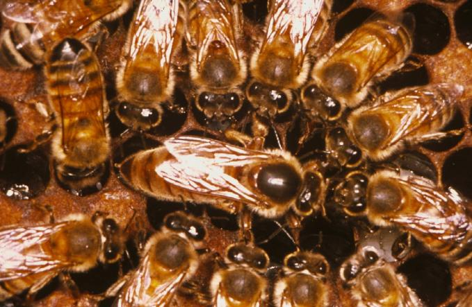 Weight (kg) Weight (kg) Adult Bees (Thousands) Adult Bees (Thousands) Managing Bees for Honey Production 60 20 COLONY POPULATION ADULT BEE Time POPULATION TARGET PERIOD MAIN NECTAR FLOW 300