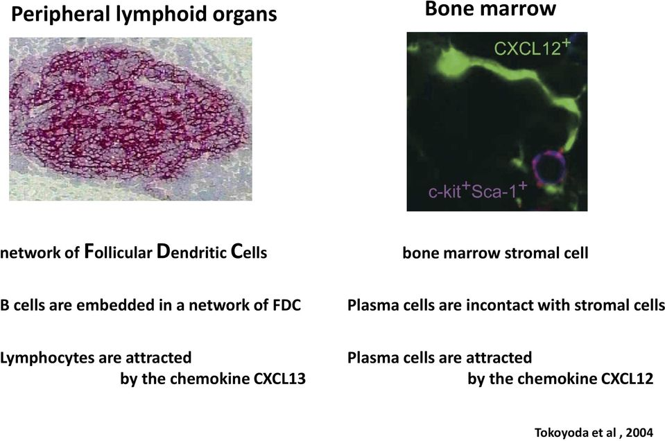 cells are incontact with stromal cells Lymphocytes are attracted by the