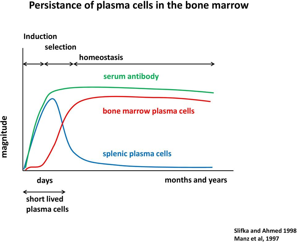 plasma cells splenic plasma cells days months and years