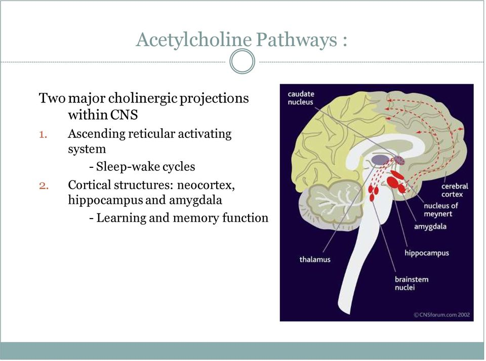 Ascending reticular activating system - Sleep-wake