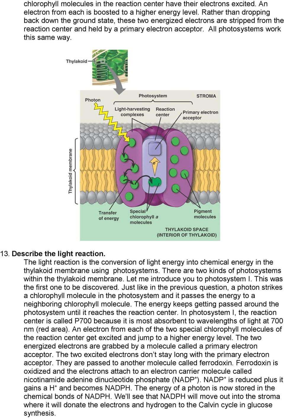 Describe the light reaction. The light reaction is the conversion of light energy into chemical energy in the thylakoid membrane using photosystems.