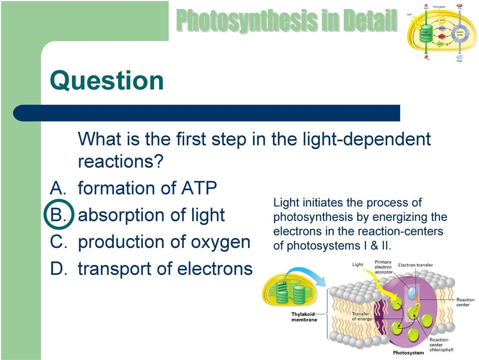 transport of electrons Light initiates the process of photosynthesis
