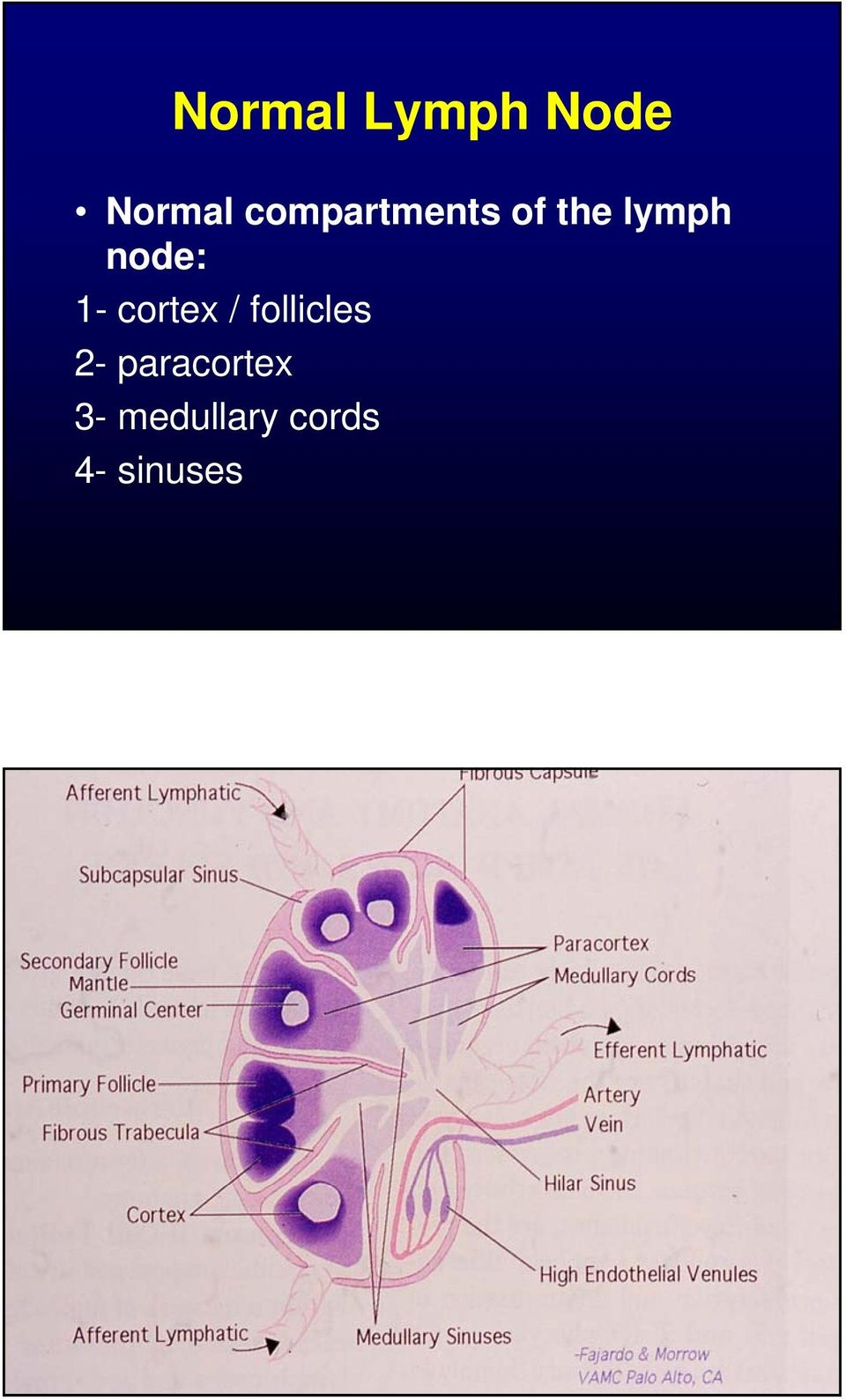 node: 1- cortex / follicles 2-