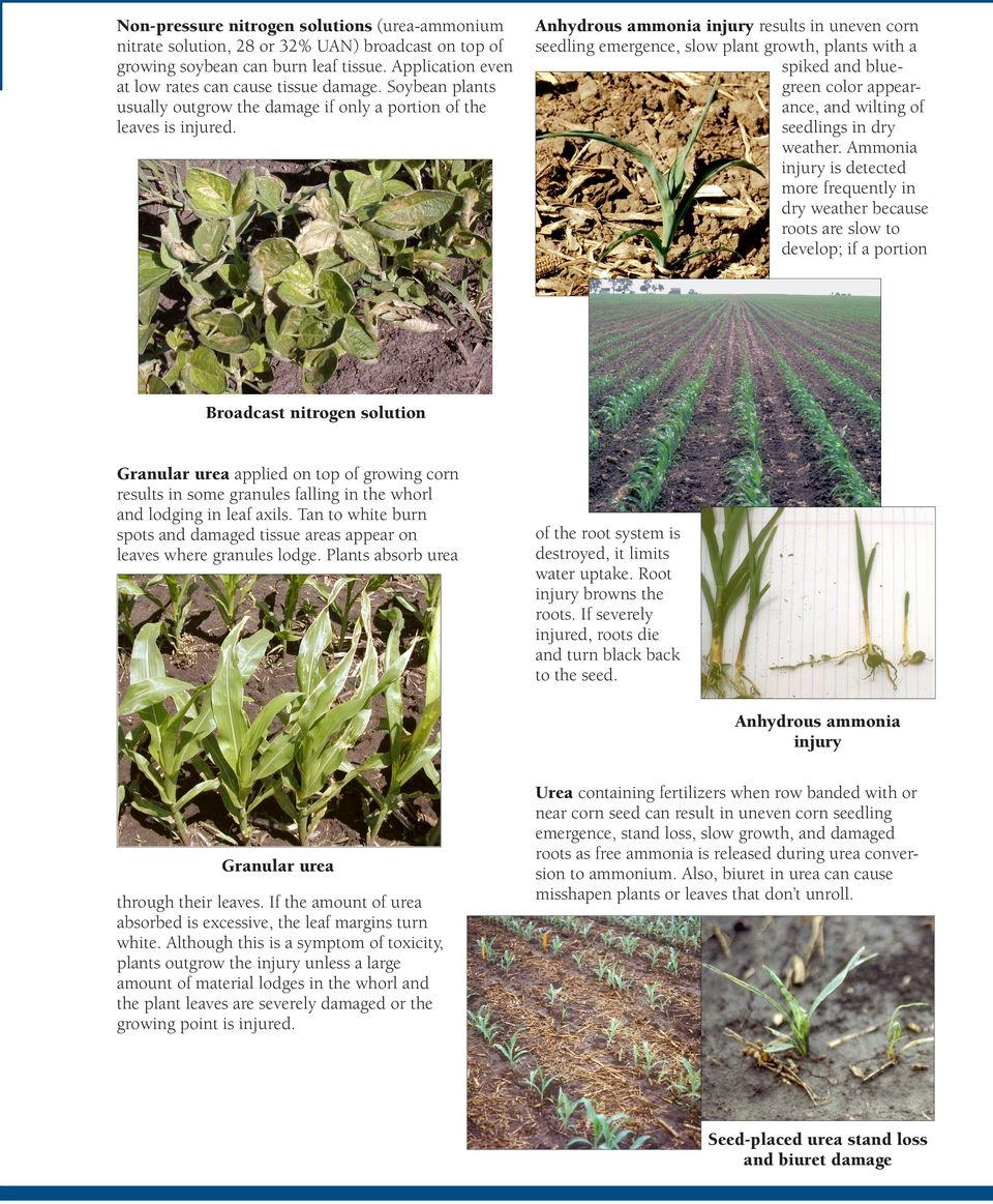 Anhydrous ammonia injury results in uneven corn seedling emergence, slow plant growth, plants with a spiked and bluegreen color appearance, and wilting of seedlings in dry weather.
