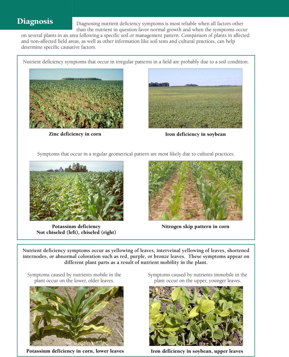 Comparison of plants in affected and non-affected field areas, as well as other information like soil tests and cultural practices, can help determine specific causative factors.