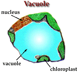 Chloroplasts, Cell Wall, and Vacuole Chloroplasts: green organelles that make food, found only in green plant cells