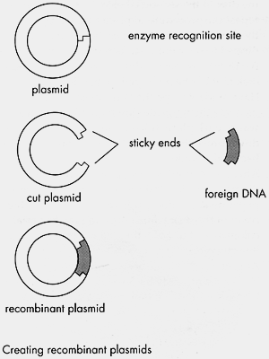 2. The fragments of DNA are then combined with another DNA molecule to make the recombinant DNA. Often the fragments of DNA are combined with small, ring-shaped DNA called plasmids.
