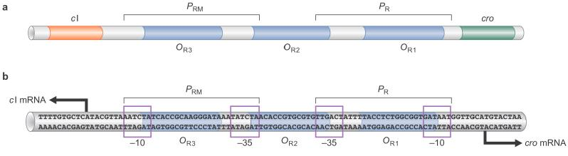 Fig. 18 Relative positions of promoter and operator sites in O R ci P RM P R cro O R3 O R2 O R1 There are 6 operators in the right (3) and left (3) control regions of bacteriophage l.