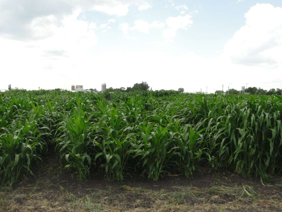Treatments Corn-sorghum inter-row Corn-sorghum within-row Sorghum monoculture Corn monoculture C1: Grain corn