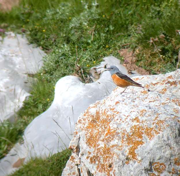 Rock Thrush (Chris Knox) 105. Blue Rock Thrush. Family party [5] near Barbastro, and seemed fairly common on sea cliffs at Garaff. 106. Ring Ouzel.