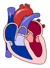 Circulatory or Cardiovascular System Circulatory System Keeps the body working by