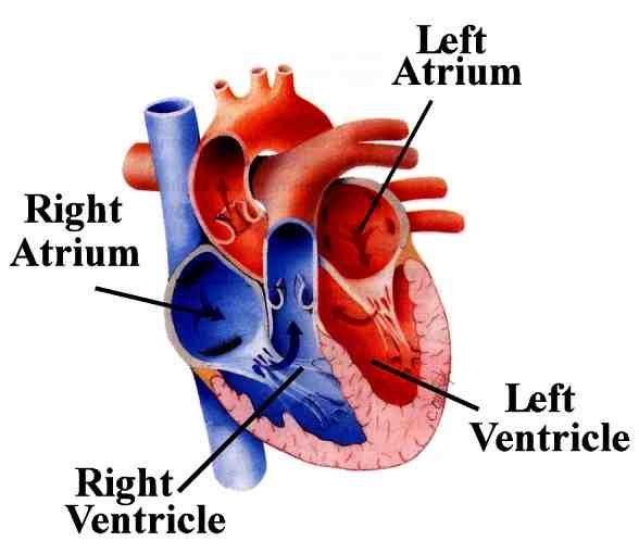 Parts of the Circulatory System The