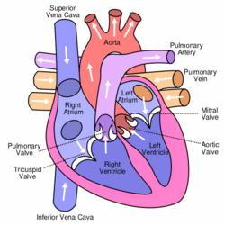 Three Types of Veins Veins start with V brings blood back to me 1. Inferior Vena Cava Where the blood enters the heart from the body. 2.