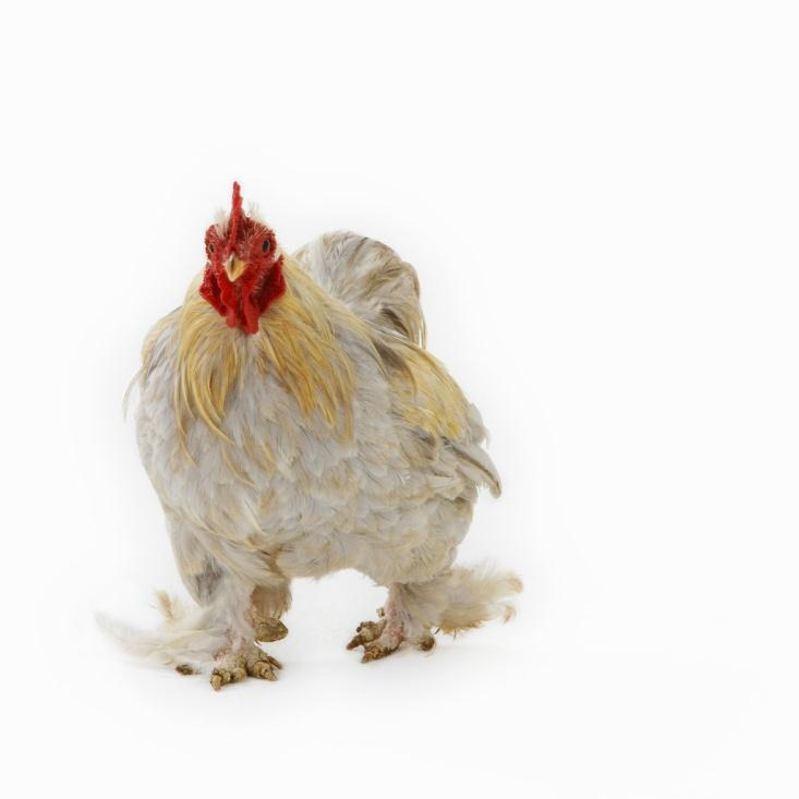 Poultry is a term for domesticated fowl, particularly focusing on the species valued for their meat and